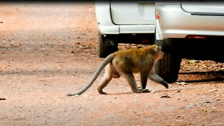 Monkey Hate Car And Want To Fighting  - Video