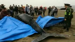 Stranded humpback rescued after five hours - Video