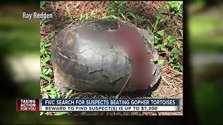 FWC search for suspects beating Gopher tortoises - Video