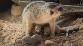 These newborn meerkats are so adorable
