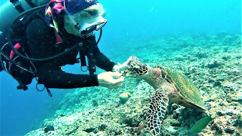 Critically endangered hawksbill finds a friend on the reef