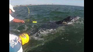 Baby Humpback Whale Rescued From Shark Netting - Video