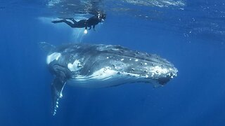 Massive Whale Hangs Out With Diver