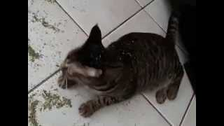 Excited Cat Makes a Mess With Catnip Jar - Video