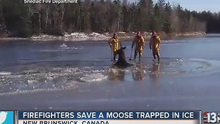Firefighters rescue moose trapped in ice - Video