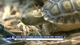 West Allis Police look for tortoise thief - Video