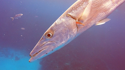 Giant barracuda attacks with torpedo like speed