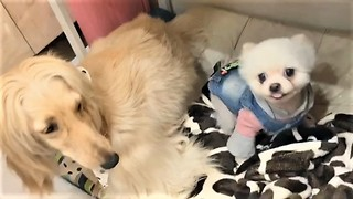 Afghan Hound hilariously pushes annoying Pomeranian away