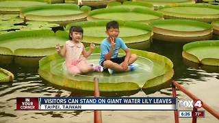 Visitors take a leap on lily leaves