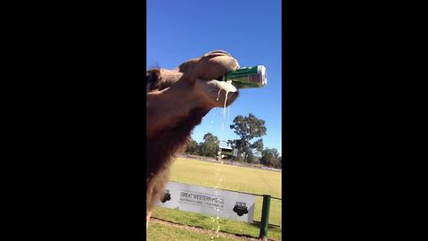 Bruce the camel sinks a cold can of beer