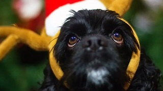 Dog performs series of Holiday-inspired tricks - Video
