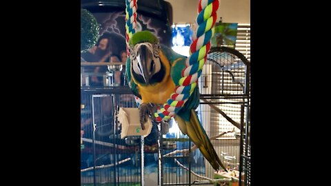 Epic Macaw swing