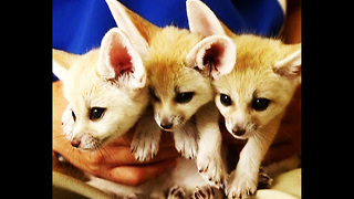 CUTE Little Fox Cubs - Video