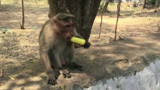 Heartwarming visuals show monkey enjoying ice-cream to beat sweltering heat - Video