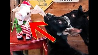 Kids These Days - Toy Goat Leaves Baad Impression