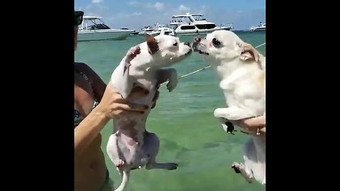 Pair of dogs engage in air-swimming battle