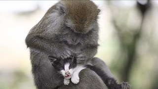 Monkey Adopts Kitten - Video
