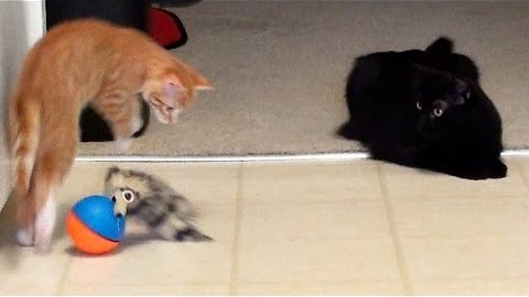 A Kitten A Cat & A Weasel Ball