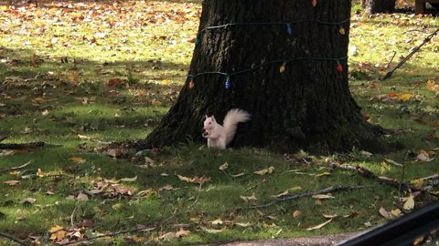 Rare albino squirrel finds and hides acorns