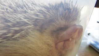 Goofy hedgehog sleeps in totally ridiculous position