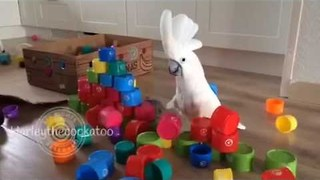 Cockatoo Really Gives Wall of Plastic Cups the Business - Video