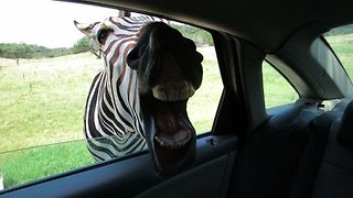 Happy Zebra Is Waiting for Food - Video