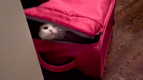 Cat wants longer vacation, hides in suitcase