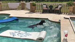 Funny Great Dane Doesn't Want To Get Out Of The Pool  - Video
