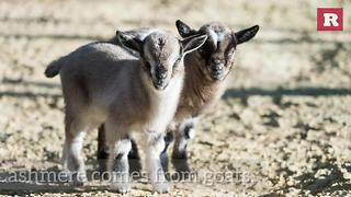 Goat facts | Rare Animals - Video