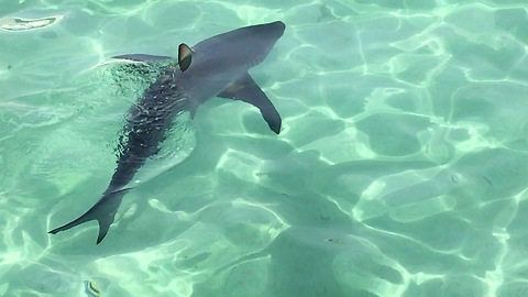 Reef shark swims close to check out snorkelers at resort