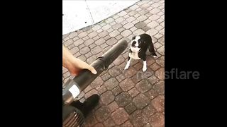 Puppy 'fights' leaf blower - Video