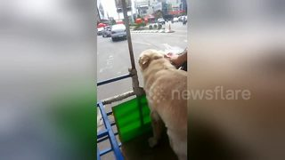 Golden Retriever runs on a motorbike sidecar