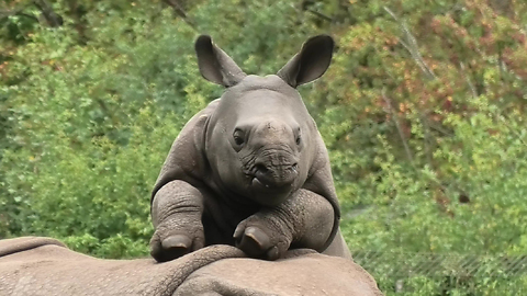 Happy Baby Rhino Begs Mom To Play With It