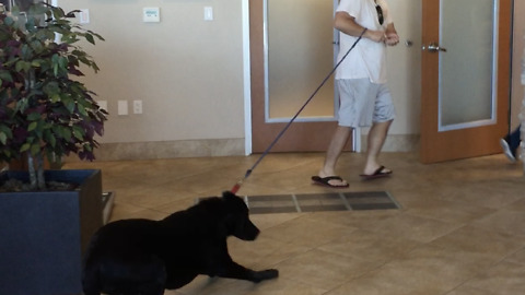 Labrador profoundly resists going to the vet
