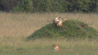 Pride comes before a fall!! Hilarious moment lion tumbles down hill
