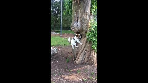 Pair of puppy friends 'smell' ball in tree, retrieve it