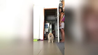 Fluffy Pomeranian Confused After Owner Hides Behind Door
