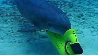 Military Trained Dolphins Seek Endangered Species - Video