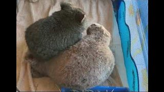 Sweet Baby Wombat Loves Cuddles With Snuggly Stuffed Toy