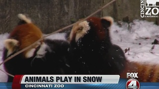Red pandas play in snow - Video