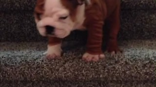English Bulldog Puppy Adorably Conquers The Stairs - Video