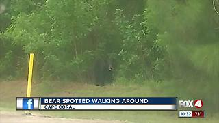 Bear Spotted in Residential Area in Cape Coral - Video