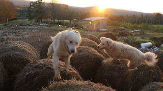 Guard dogs conduct bale-jumping at sunrise - Video