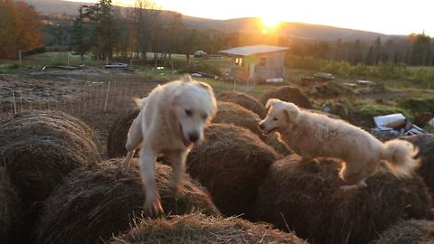 Guard dogs conduct bale-jumping at sunrise