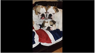 English Bulldogs sleep together in hysterical fashion - Video