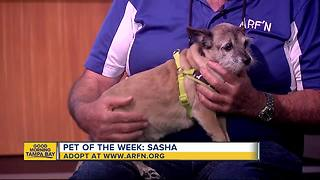 Pet of the week: Sasha is a sweet 5-year-old terrier mix who needs a home - Video