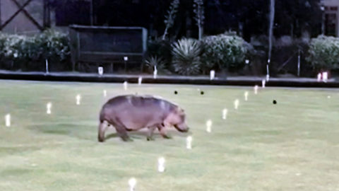 Bowled over – Hippo interrupts lawn bowling match