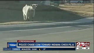 Police chase cow towards Indiana Chick-fil-A