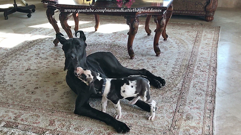 6-week-old Great Dane pesters older dog