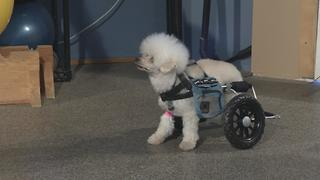How can a wheelchair help a disabled dog? - Video